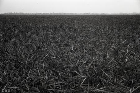 Rok 1948: Pokus vypestovať na Slovensku ryžu bol úspešný