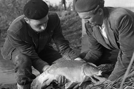 Začali sa výlovy vianočných rýb