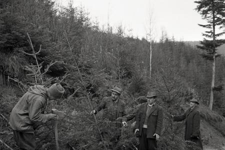 Rok 1957: V lesných závodoch už chystajú vianočné stromčeky