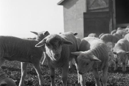 Na Slovensku sa vzmáha ovčiarstvo