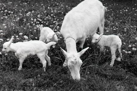 Rok 1988: Prvá umelo oplodnená koza v Československu