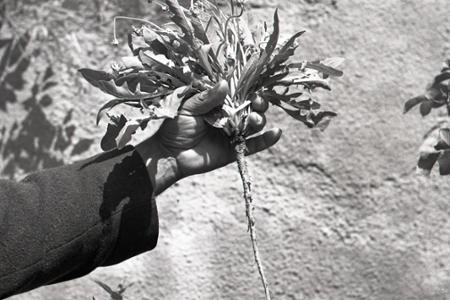 Rok 1952: Pestujeme koksagyz