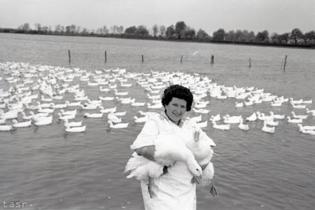 Rok 1963: Štátne rybárstvo v Stupave je najväčší producent kačíc