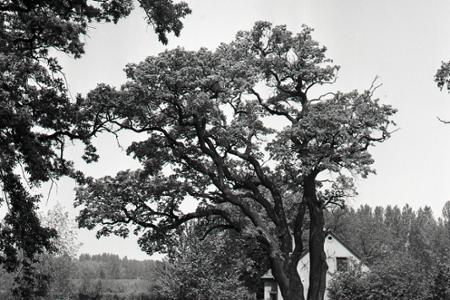 Rok 1965: Duby neďaleko Gabčíkova sú slovenskou raritou