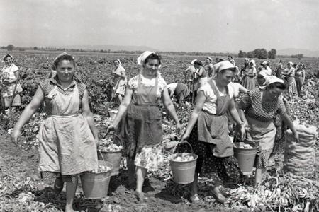 Rok 1963: Z polí prichádza na trh nová úroda zemiakov