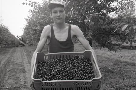 Rok 1982: Brigádnikov vystriedal pri zbere višní striasač ovocia