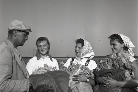 Rok 1959: Na Slovensku sa začal zber tabaku