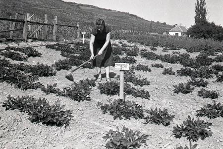 Rok 1952: Overuje sa pestovanie teplomilných rastlín