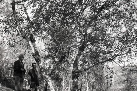 Rok 1965: Na Dukle objavili náleziská cennej svalcovitej brezy