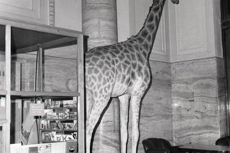 Rok 1974: V Bratislave môžeme obdivovať žirafu