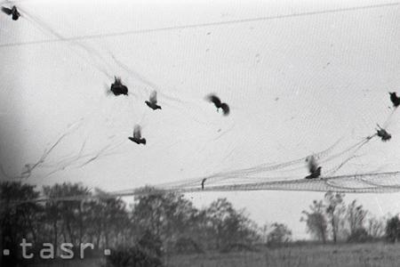 Rok 1955: Československu patrí popredné miesto v chove úžitkovej zveri
