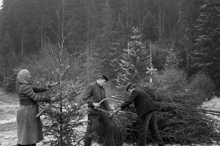 Rok 1958: Už vyrubujú vianočné stromčeky