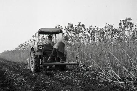 Rok 1960: Vysádzajú rýchlorastúce dreviny