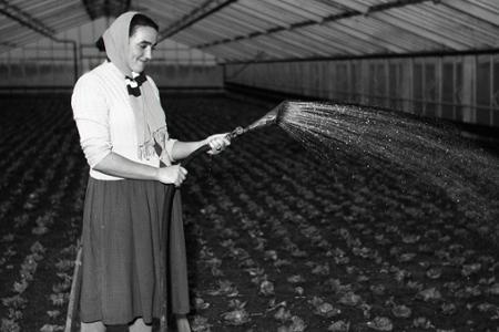 Rok 1955: V skleníkoch sa už zelenie rýchlená zelenina