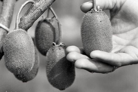 Rok 1987: Na Slovensku začíname experimentálne pestovať kiwi