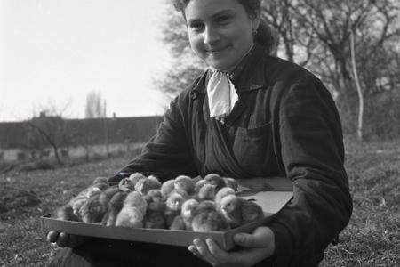 40461edc8024 Poľnohospodárstvo · Rok 1954  Liahne kurčiat pomáhajú zvyšovať živočíšnu  výrobu