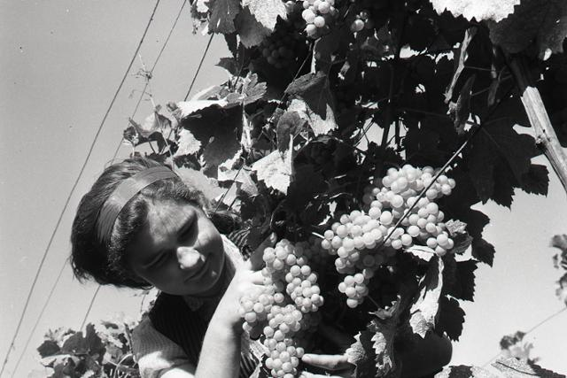 Začínajú sa oberačky hrozna a prvá povojnová slávnosť vinobrania - fotografie - Vtedy