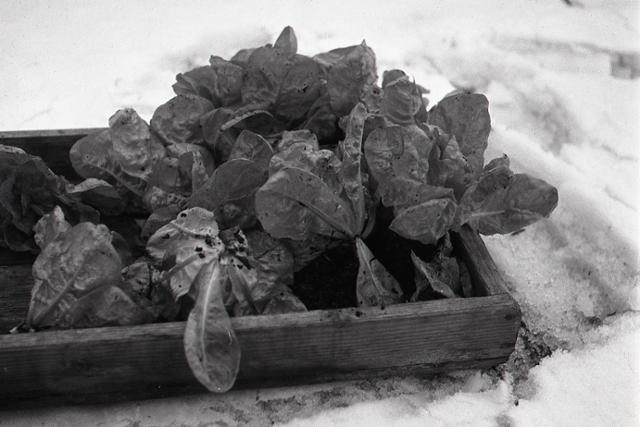 Rok 1950: Jedli ste už čerstvý šalát v januári?  - fotografie - Vtedy